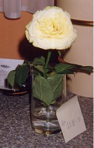 Trandafir pus in AED, aspect dupa 10 zile