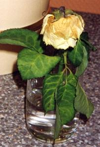 Trandafir pus in Apa obisnuita,  aspect dupa 3 zile